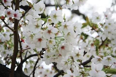 樱树花开,与君书一笺倾世爱恋