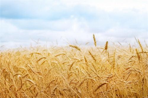 麦子的记忆
