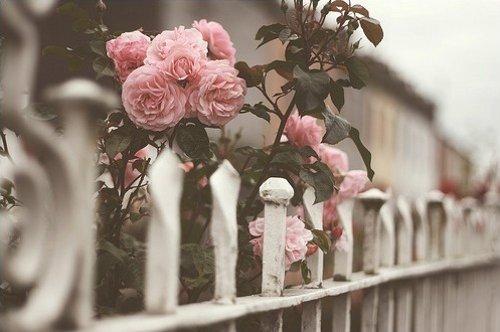 蔷薇花开,拈一份清欢寻香来