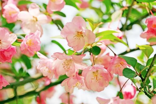 海棠花的故事